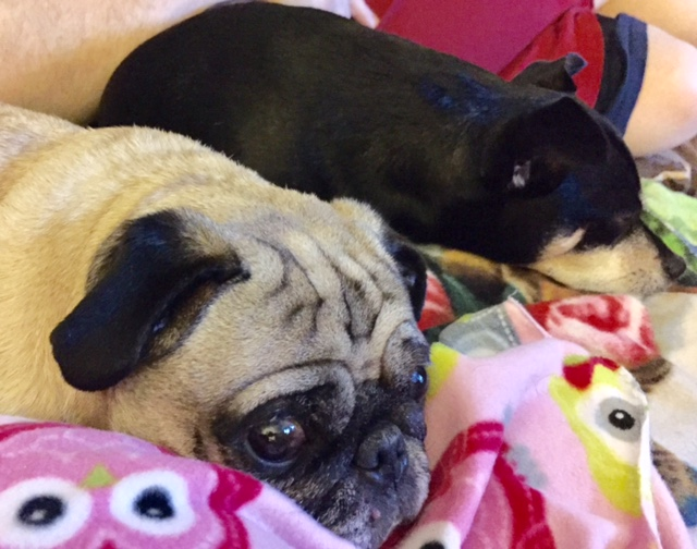 Cletus black sleeping with fawn colored Katie (friends pug).