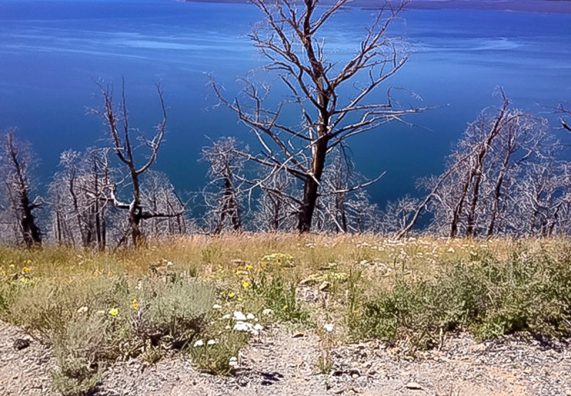 Looking down to Yellowstone lake. Trees were burned in the 1988 fires of Yellowstone.