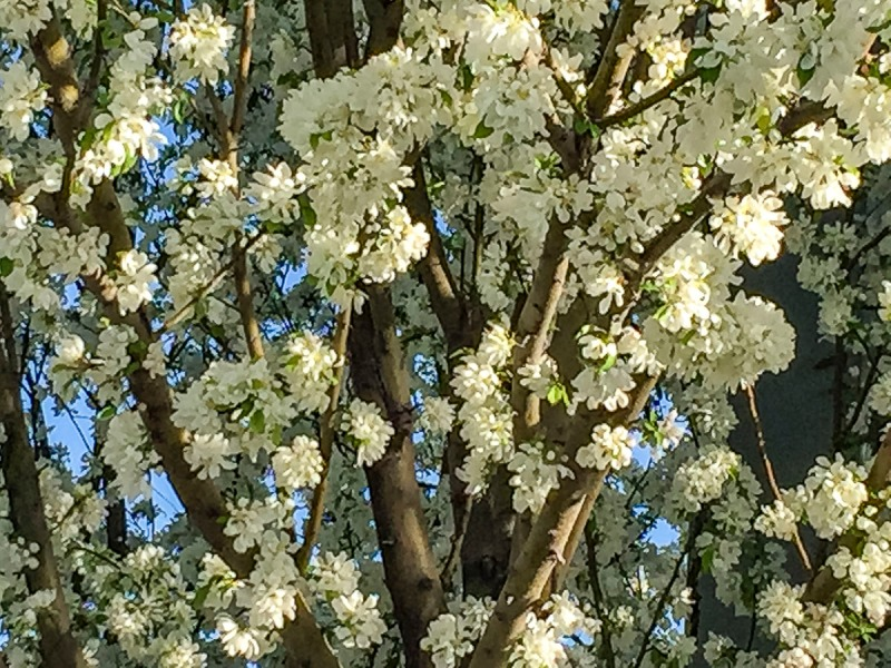 Looking up at a tree in full bloom in the spring.