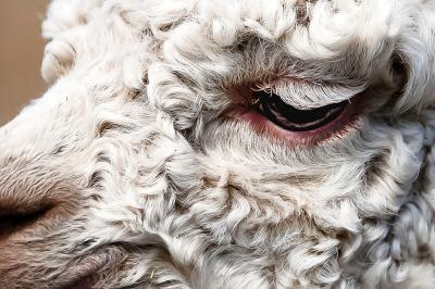 Alpaca eyelashes
