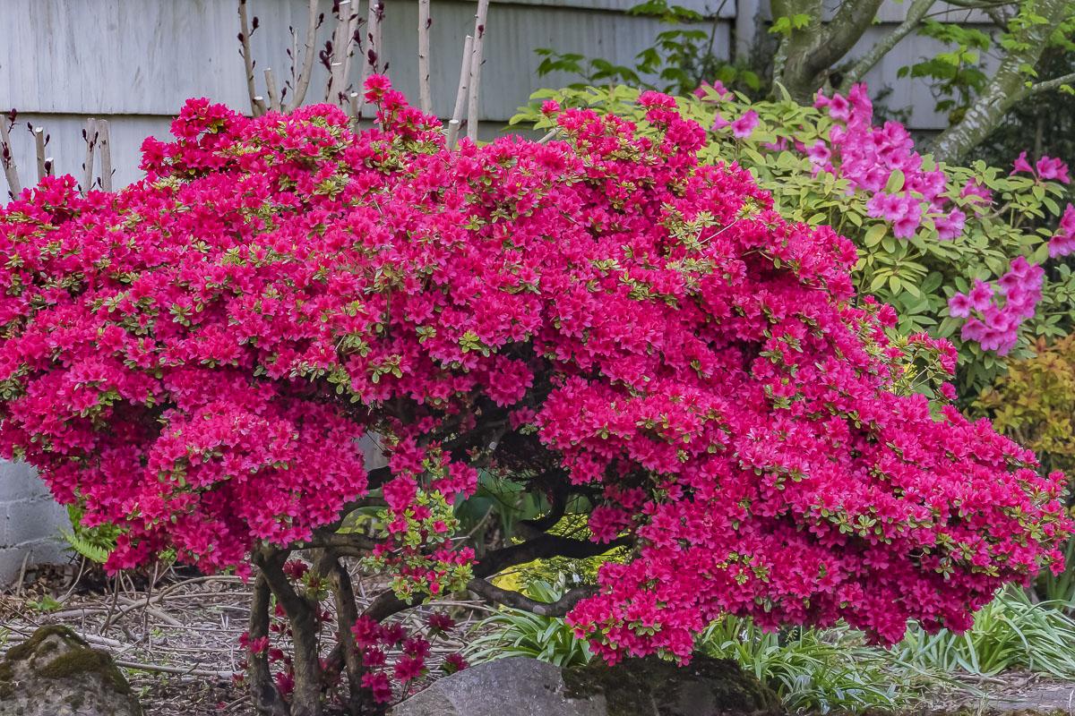 Flower of the day april 22 2017 azalea bush cee 39 s for The azalea