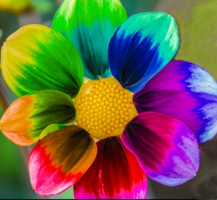 I adore color and edited this dahlia to show a rainbow of colors.