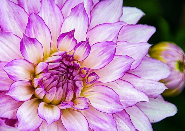 Flowers, especially dahlias, always bring me joy.