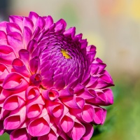 Flower of the Day - September 18, 2018 - Dahlia