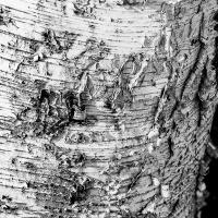 Cee's Black & White Photo Challenge:  Trees