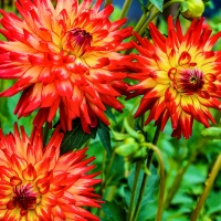 Flower of the Day - September 22, 2018 - Dahlia