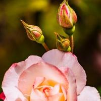 Flower of the Day - September 24, 2018 - Pink Rose
