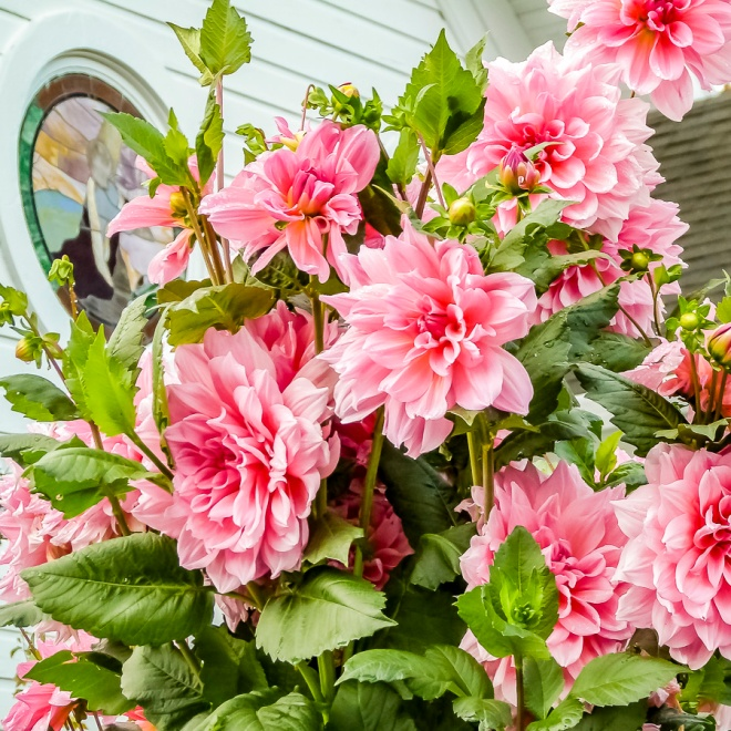 575444cf262 Flower of the Day - September 30, 2018 - Pink Dahlias