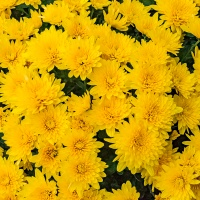 Flower of the Day - October 16, 2018 - Mums