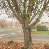 Sunday Trees – 366 - Maple Tree