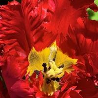 FOTD - December 8, 2018 - Tulip