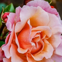 Bren's Photo of the Week Challenge:  Roses
