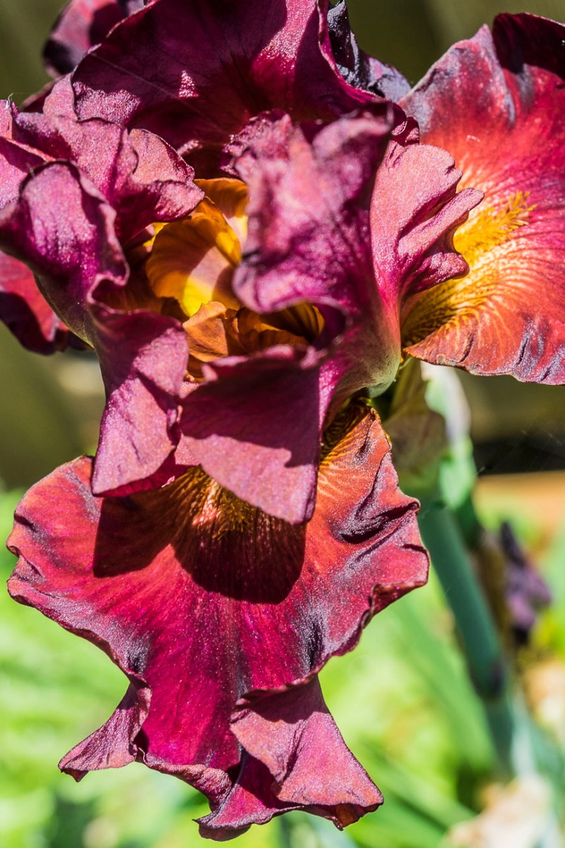 FOTD - January 21, 2019 - Bearded Iris