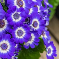 FOTD - February 16, 2019 - Cineraria Daisy