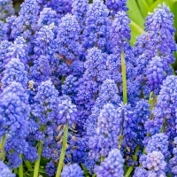 FOTD - February 20, 2019 - Grape Hyacinth
