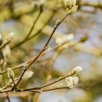 FOTD - February 21, 2019 - Magnolia Tree Buds