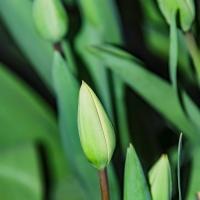 FOTD - March 17, 2019 - Tulips