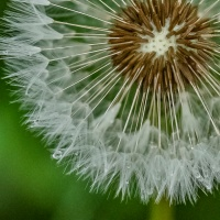 March 19 - #SpikySquares & March Photo of the Day:  Spiky Dandelions
