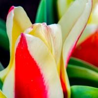FOTD - March 20, 2019 - Tulip