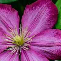 March 23 - #SpikySquares Clematis