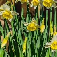 FOTD - April 23, 2019 - Daffodils
