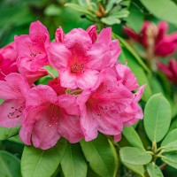 FOTD - May 18, 2019 - Rhododendron