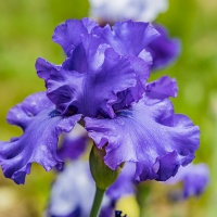 FOTD - May 19, 2019 - Bearded Iris