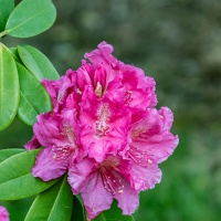 FOTD - May 22, 2019 - Rhododendron