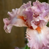 FOTD - May 27, 2019 - Bearded Iris