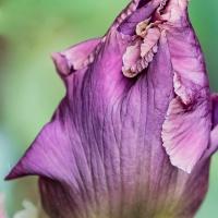 FOTD - May 26, 2019 - Bearded Iris Bud