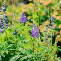 FOTD - June 24, 2019 - Wildflowers (Columbia Gorge)