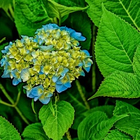 July 17 - Blue Squares - Hydrangea
