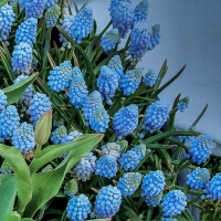 July 22 - Blue Squares - Grape Hyacinth
