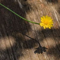 FOTD - July 17, 2019 - Dandelion