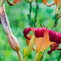 FOTD - July 20, 2019 - Nearing the end of the Season - Lilies
