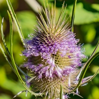 FOTD - July 23, 2019 - Teasel