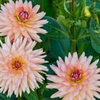 FOTD - September 20, 2019 - Dahlias