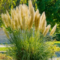 FOTD - September 21, 2019 - Pampus Grass
