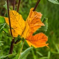 FOTD - September 23, 2019 - Autumn Leaf
