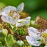 FOTD - September 17, 2019 - Blackberry Blossoms