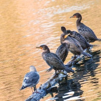 October 12 - Square&Lines  & BOTD Challenges - Seagulls and Cormorants