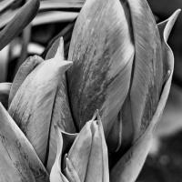 FOTD - November 13, 2019 - Tulip Buds