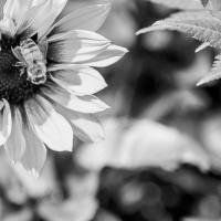 FOTD - November 14, 2019 - Sunflower and Bee