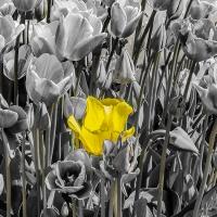 FOTD - November 27, 2019 - Tulips
