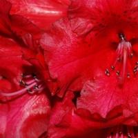 FOTD - December 3, 2019 - Rhododendron