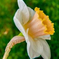 FOTD - December 7, 2019 - Daffodil