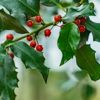 FOTD - December 9, 2019 - Holly Berries