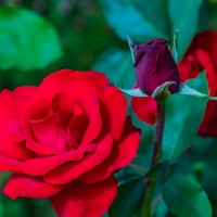 FOTD - December 13, 2019 - Rose