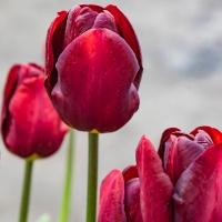 FOTD - December 15, 2019 - Tulips