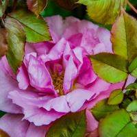 FOTD - January 16, 2020 - A Rose in Hiding